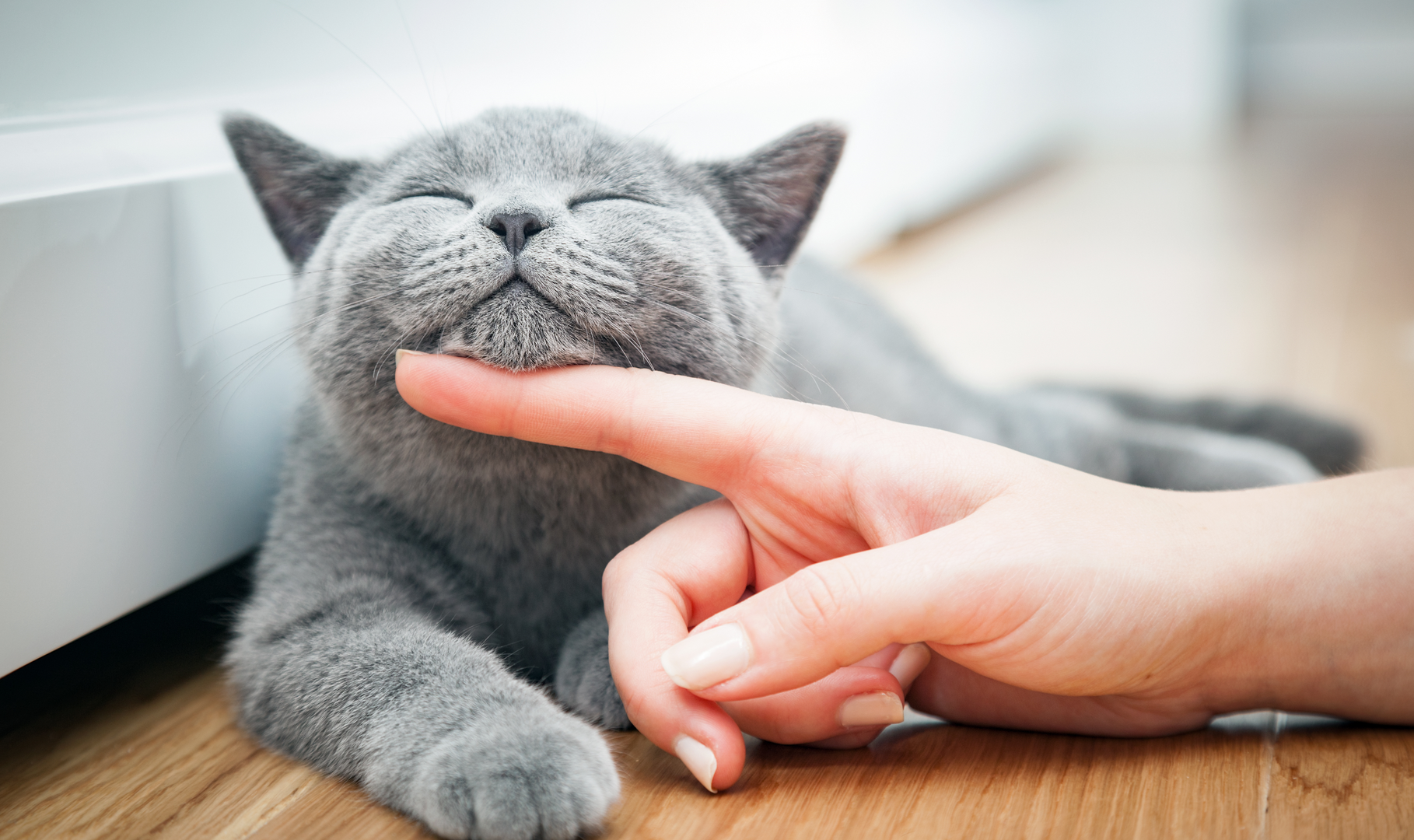 A person petting the underside of a cat's chin